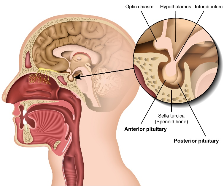 Diagram of the anatomy of the pituitary gland | OHSU