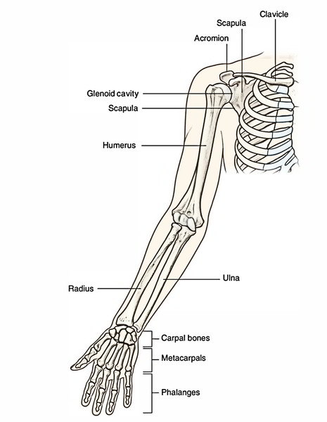 Easy Notes On 【Bones of the Upper Limb】Learn in Just 3 Minutes ...