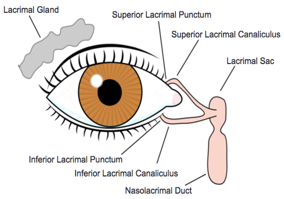 Lacrimal Gland Anatomy and Drainage System #Anatomy #Ophthalmology ...