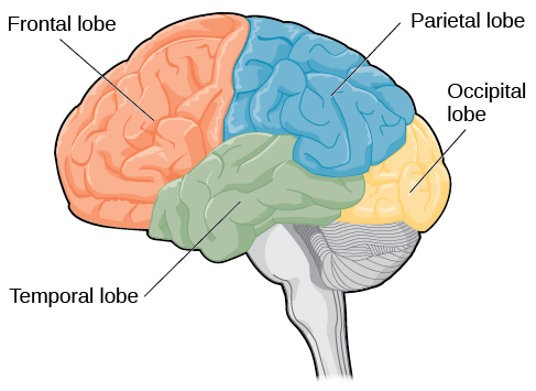 Lobes of the Brain | Introduction to Psychology