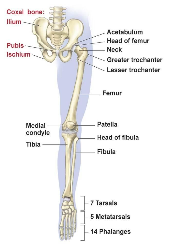 Lower Limb: Bones, Muscles, Joints & Nerves (With images ...