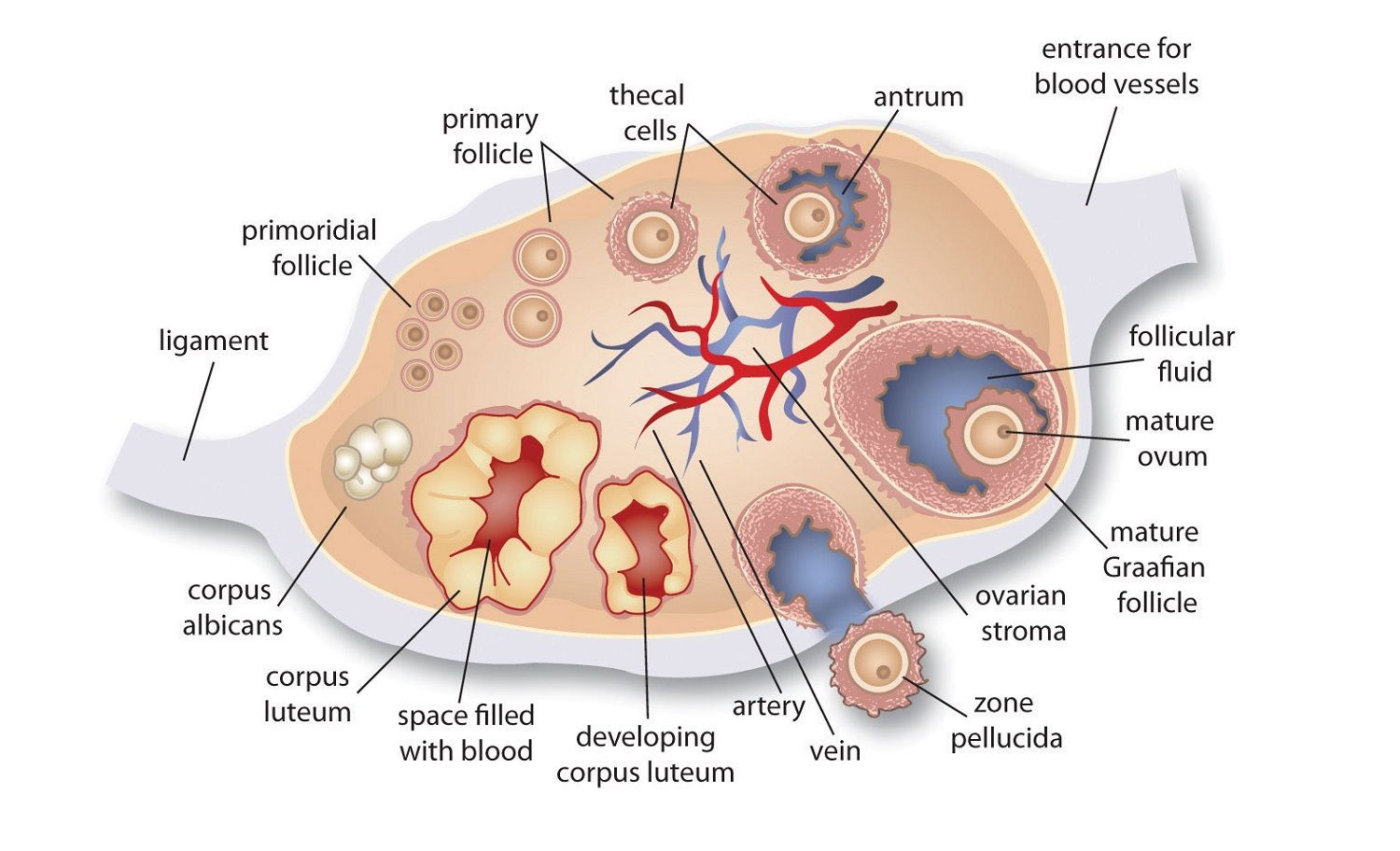 ovary diagram anatomy (With images) | Ovaries, Ovarian follicle ...