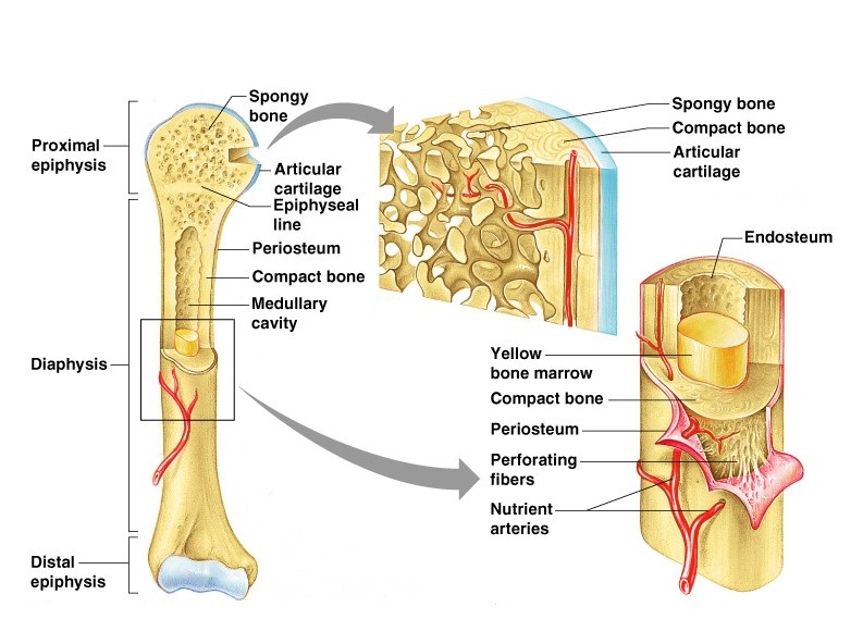 Structure and functions of bones - Online Science Notes