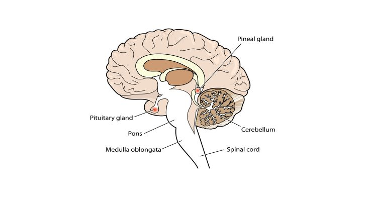 What is Pineal Gland? • Earth.com