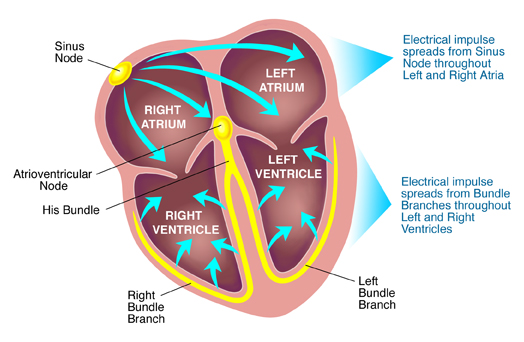 blood circulation in the body.
