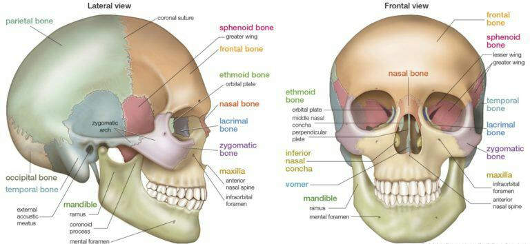 Cranial and facial bone
